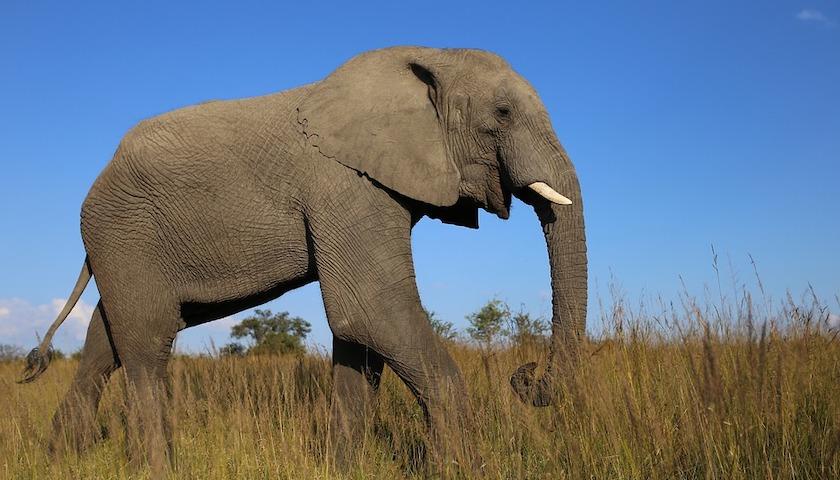 实在是养不起了,津巴布韦再出口近百头大象